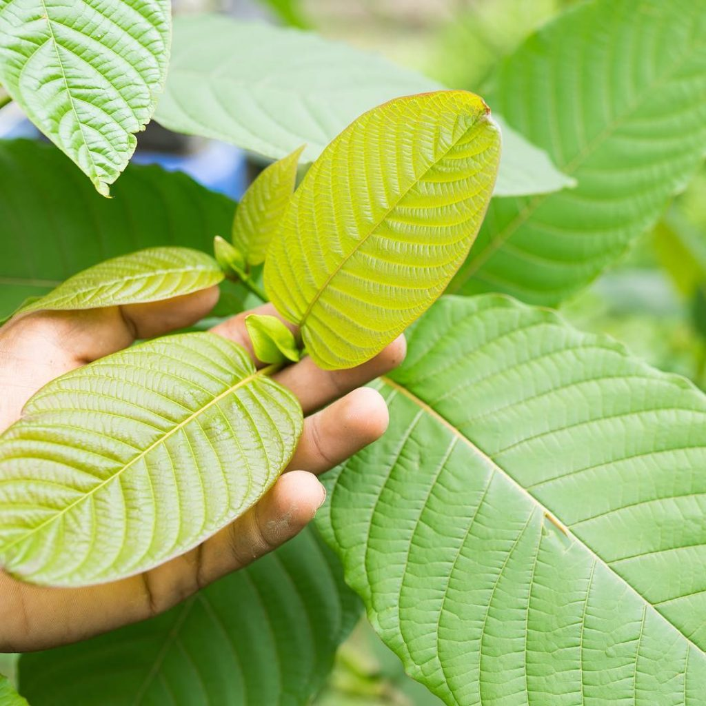 Kratom Guides And Benefits